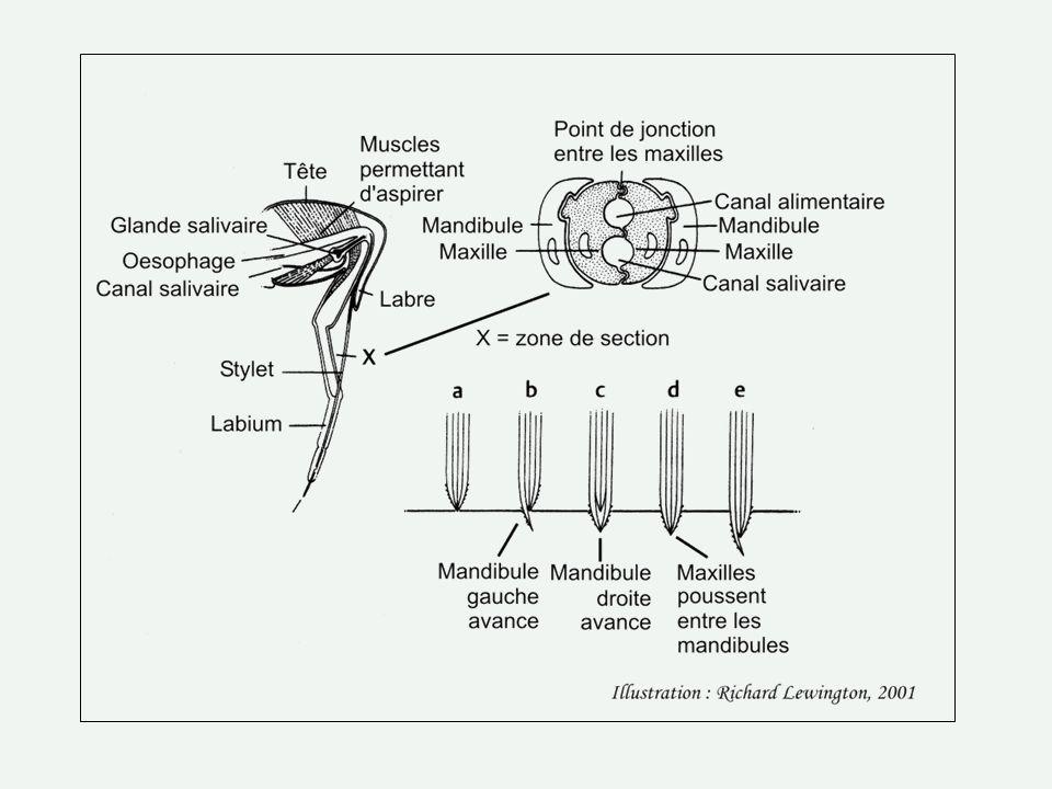 La Punaise terne (6mm) Lygus lineolaris Cest le troisième plus important ravageur des récoltes au Québec après le Doriphore de la pomme de terre (Coléoptère) et la Mouche du pommier (Diptère).