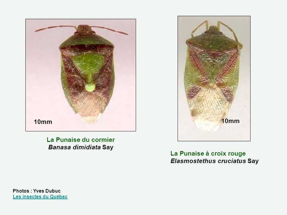 La Punaise du cormier Banasa dimidiata Say La Punaise à croix rouge Elasmostethus cruciatus Say 10mm Photos : Yves Dubuc Les insectes du Québec Les in