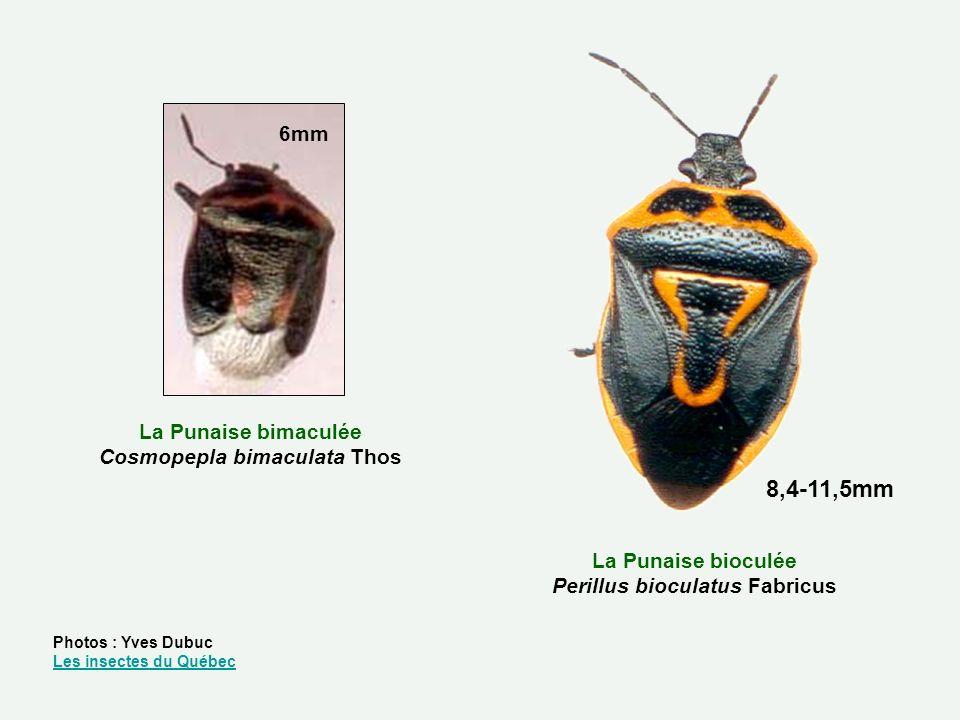 La Punaise bioculée Perillus bioculatus Fabricus La Punaise bimaculée Cosmopepla bimaculata Thos 6mm 8,4-11,5mm Photos : Yves Dubuc Les insectes du Qu