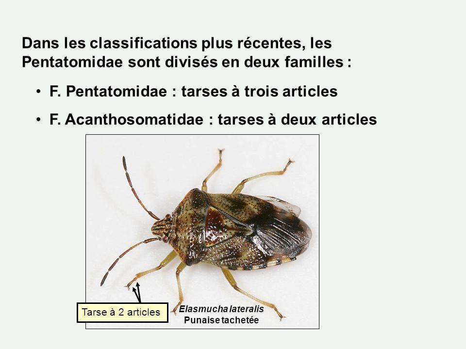 F. Pentatomidae : tarses à trois articles F. Acanthosomatidae : tarses à deux articles Dans les classifications plus récentes, les Pentatomidae sont d