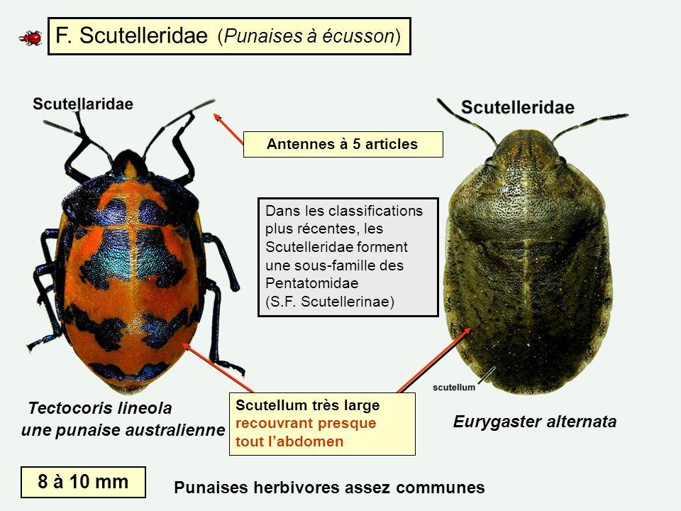 F. Scutelleridae (Punaises à écusson) Eurygaster alternata Tectocoris lineola une punaise australienne Scutellum très large recouvrant presque tout la