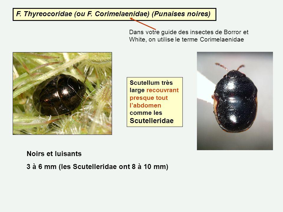 F. Thyreocoridae (ou F. Corimelaenidae) (Punaises noires) Dans votre guide des insectes de Borror et White, on utilise le terme Corimelaenidae Noirs e
