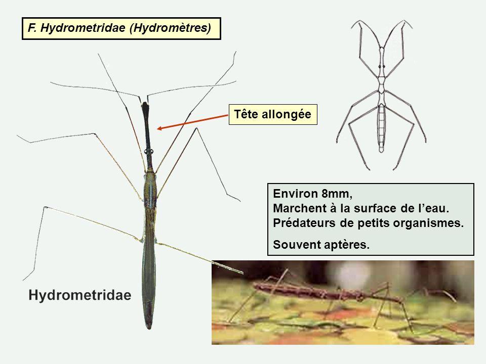 F. Hydrometridae (Hydromètres) Environ 8mm, Marchent à la surface de leau. Prédateurs de petits organismes. Souvent aptères. Tête allongée