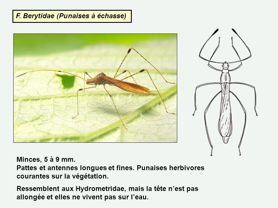 F. Berytidae (Punaises à échasse) Minces, 5 à 9 mm. Pattes et antennes longues et fines. Punaises herbivores courantes sur la végétation. Ressemblent