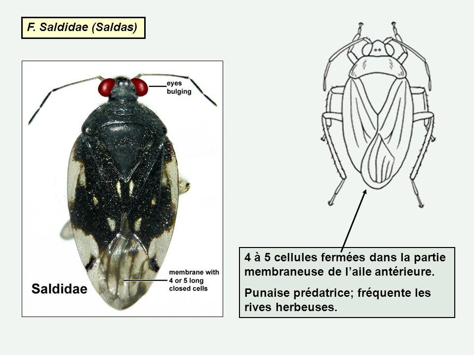F. Saldidae (Saldas) 4 à 5 cellules fermées dans la partie membraneuse de laile antérieure. Punaise prédatrice; fréquente les rives herbeuses.