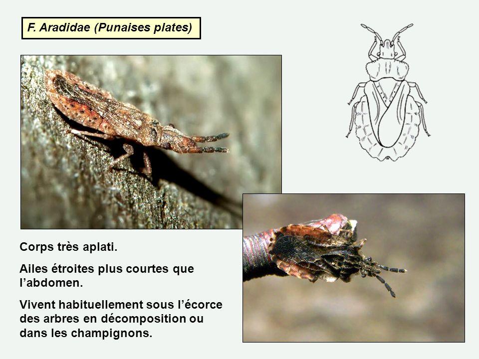 F. Aradidae (Punaises plates) Corps très aplati. Ailes étroites plus courtes que labdomen. Vivent habituellement sous lécorce des arbres en décomposit