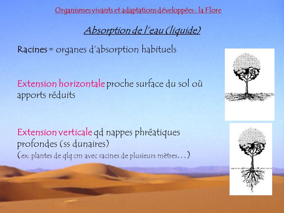 Organismes vivants et adaptations développées : la Flore Absorption de leau (liquide) Racines = organes dabsorption habituels Extension horizontale pr
