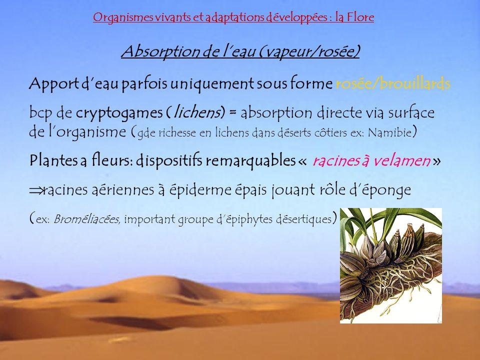Organismes vivants et adaptations développées : la Flore Absorption de leau (vapeur/rosée) Apport deau parfois uniquement sous forme rosée/brouillards