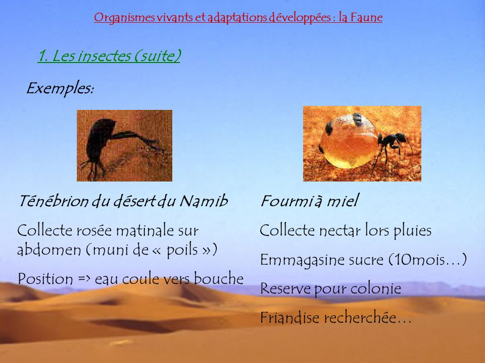 Organismes vivants et adaptations développées : la Faune 1. Les insectes (suite) Exemples: Ténébrion du désert du Namib Collecte rosée matinale sur ab