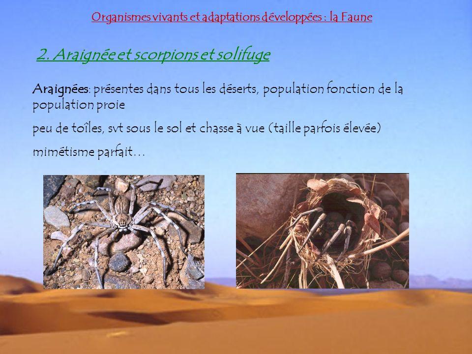 Organismes vivants et adaptations développées : la Faune 2. Araignée et scorpions et solifuge Araignées: présentes dans tous les déserts, population f