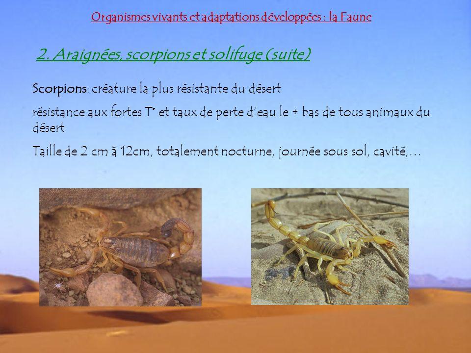 Organismes vivants et adaptations développées : la Faune 2. Araignées, scorpions et solifuge (suite) Scorpions: créature la plus résistante du désert
