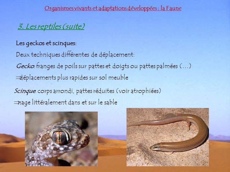 Organismes vivants et adaptations développées : la Faune 3. Les reptiles (suite) Les geckos et scinques: Deux techniques différentes de déplacement: G