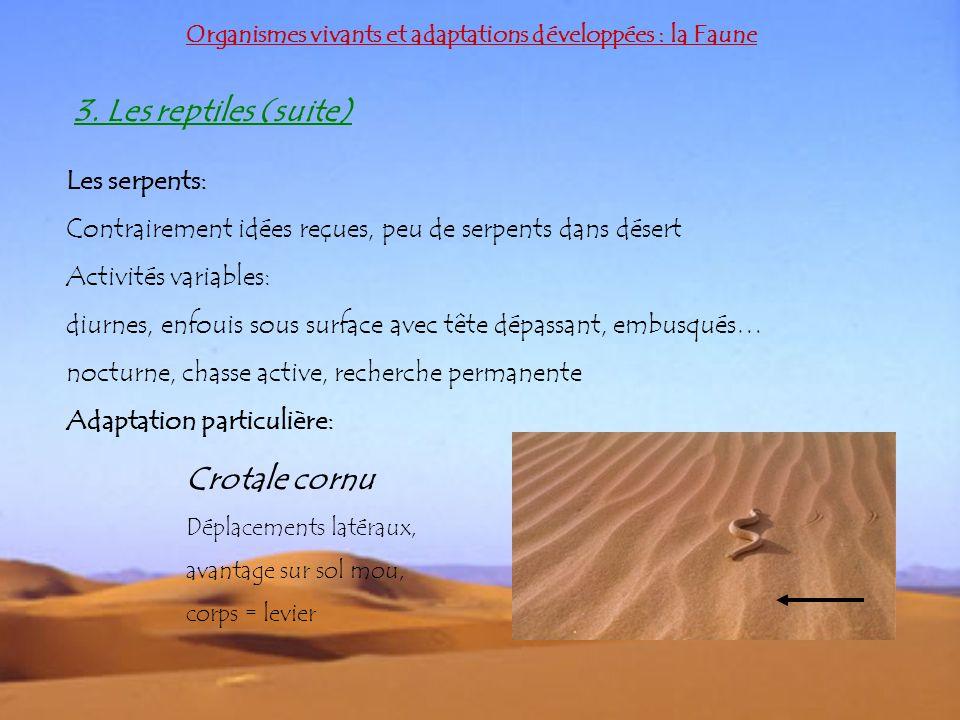 Organismes vivants et adaptations développées : la Faune 3. Les reptiles (suite) Les serpents: Contrairement idées reçues, peu de serpents dans désert