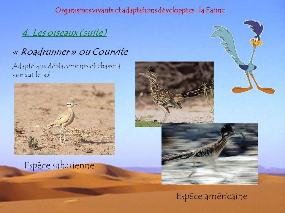 Organismes vivants et adaptations développées : la Faune 4. Les oiseaux (suite) « Roadrunner » ou Courvite Adapté aux déplacements et chasse à vue sur