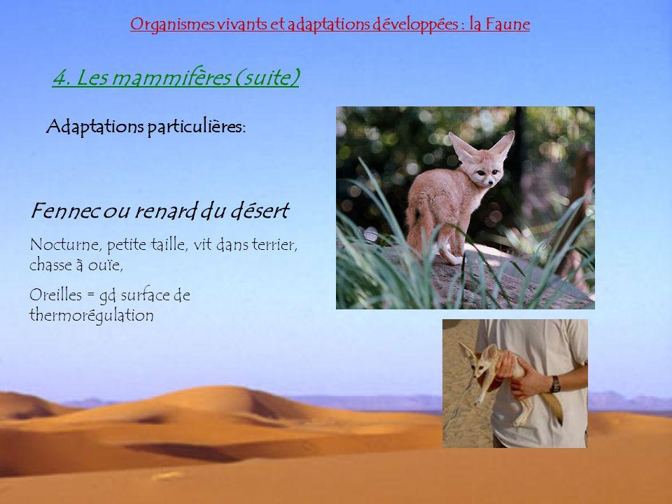 Organismes vivants et adaptations développées : la Faune 4. Les mammifères (suite) Adaptations particulières: Fennec ou renard du désert Nocturne, pet