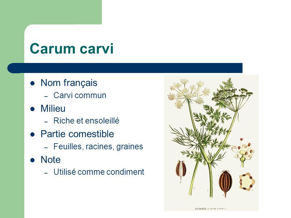 Carum carvi Nom français – Carvi commun Milieu – Riche et ensoleillé Partie comestible – Feuilles, racines, graines Note – Utilisé comme condiment