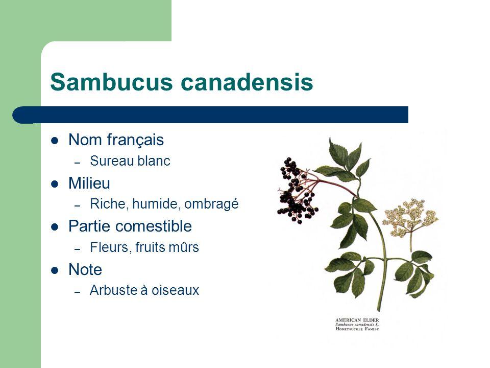 Typha latifolia Nom français – Quenouille Milieu – humide, ensoleillé Partie comestible – Épis, cœur blanc.