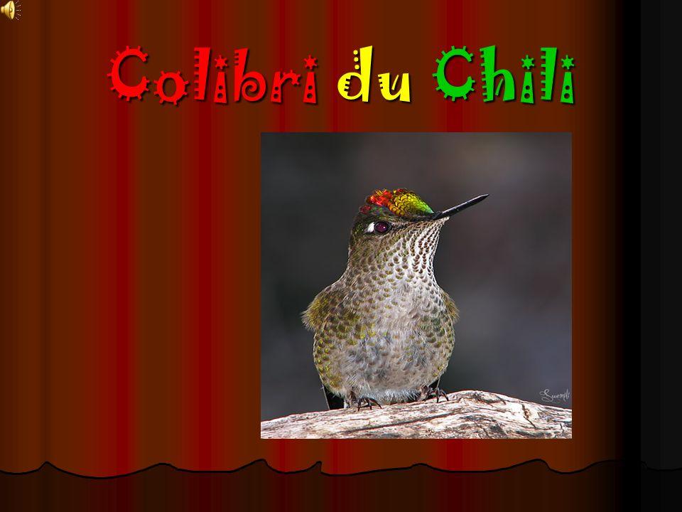 Le colibri un oiseau migrateur?.