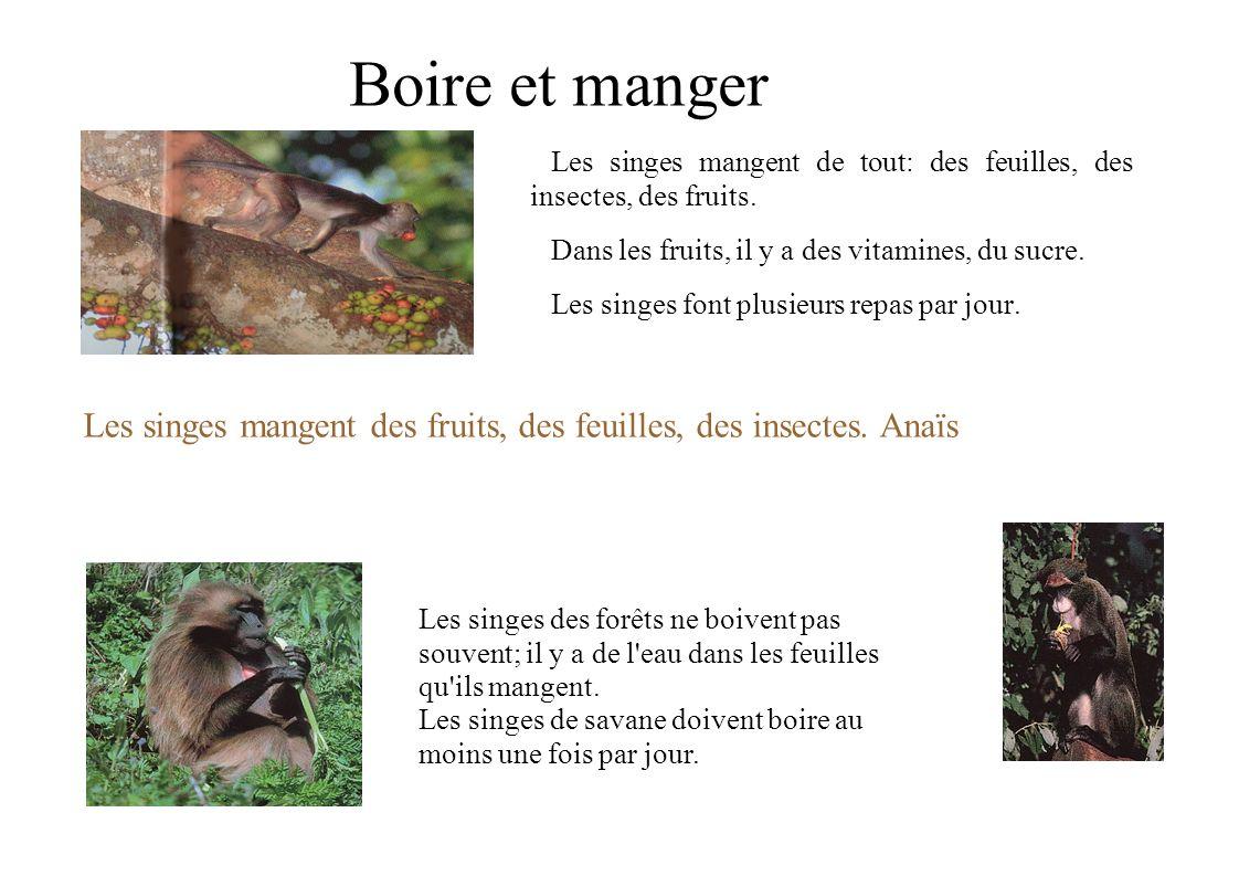 Boire et manger Les singes mangent de tout: des feuilles, des insectes, des fruits. Dans les fruits, il y a des vitamines, du sucre. Les singes font p