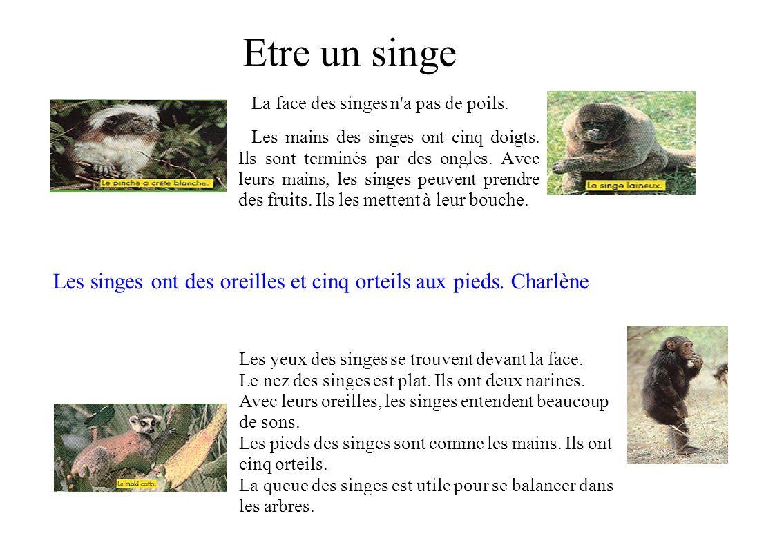 Etre un singe La face des singes n'a pas de poils. Les mains des singes ont cinq doigts. Ils sont terminés par des ongles. Avec leurs mains, les singe