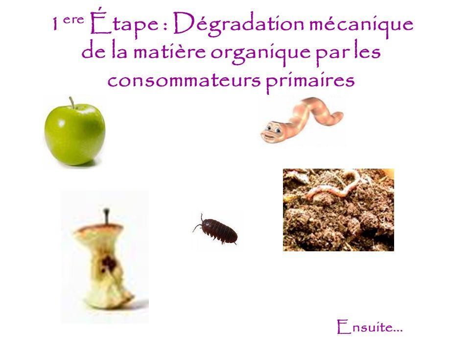 1 ere Étape : Dégradation mécanique de la matière organique par les consommateurs primaires Ensuite...