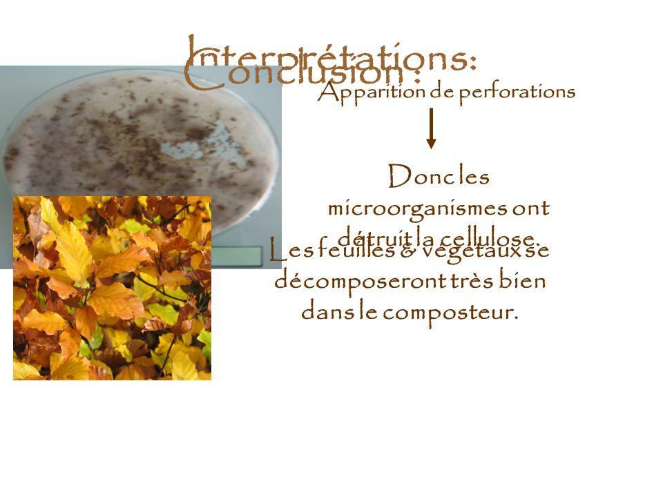 Interprétations: Apparition de perforations Donc les microorganismes ont détruit la cellulose. Conclusion : Les feuilles & végétaux se décomposeront t