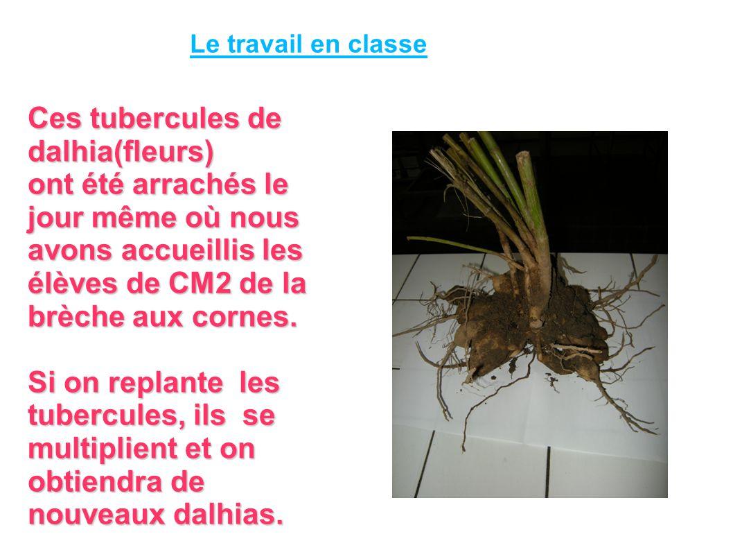 Ces tubercules de dalhia(fleurs) ont été arrachés le jour même où nous avons accueillis les élèves de CM2 de la brèche aux cornes.