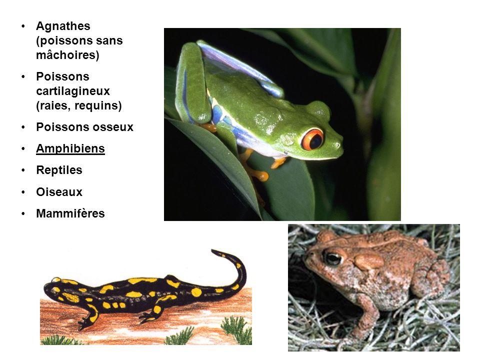 Agnathes (poissons sans mâchoires) Poissons cartilagineux (raies, requins) Poissons osseux Amphibiens Reptiles Oiseaux Mammifères