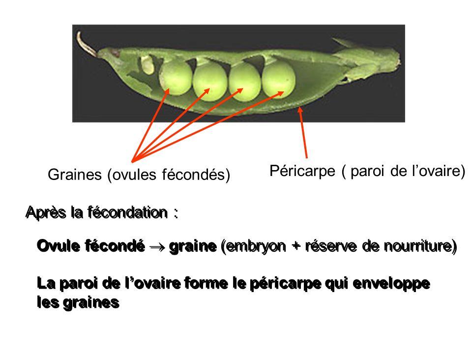 Graines (ovules fécondés) Péricarpe ( paroi de lovaire) Après la fécondation : Ovule fécondé graine (embryon + réserve de nourriture) La paroi de lova