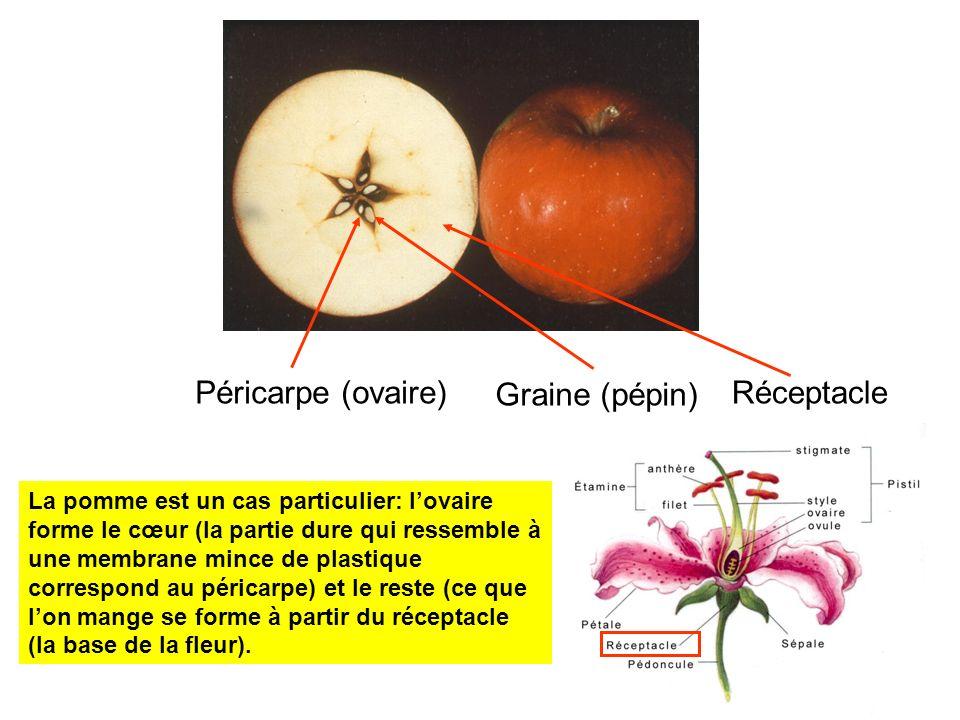 La pomme est un cas particulier: lovaire forme le cœur (la partie dure qui ressemble à une membrane mince de plastique correspond au péricarpe) et le