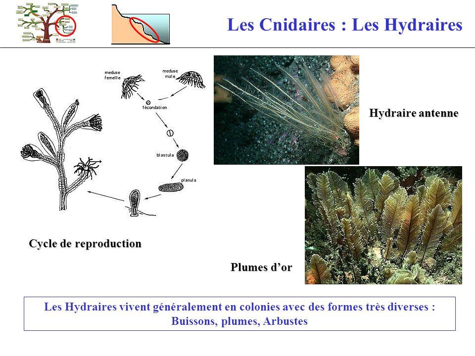 Les Cnidaires : Les Hydraires Les Hydraires vivent généralement en colonies avec des formes très diverses : Buissons, plumes, Arbustes Cycle de reprod