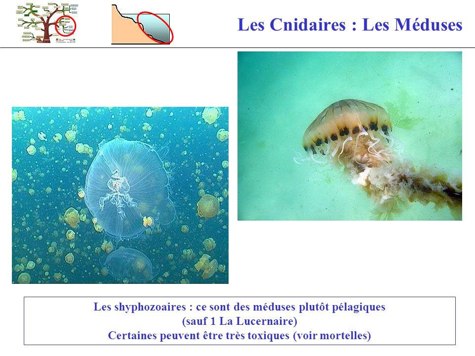 Les Cnidaires : Les Méduses Les shyphozoaires : ce sont des méduses plutôt pélagiques (sauf 1 La Lucernaire) Certaines peuvent être très toxiques (voi
