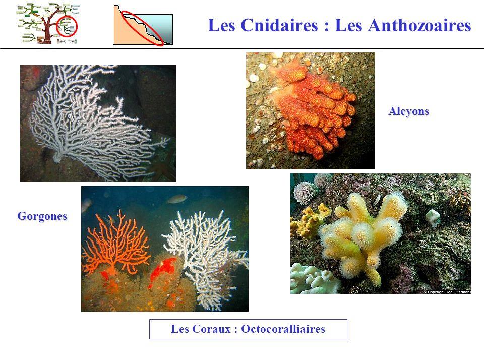 Les Cnidaires : Les Anthozoaires Les Coraux : Octocoralliaires Alcyons Gorgones