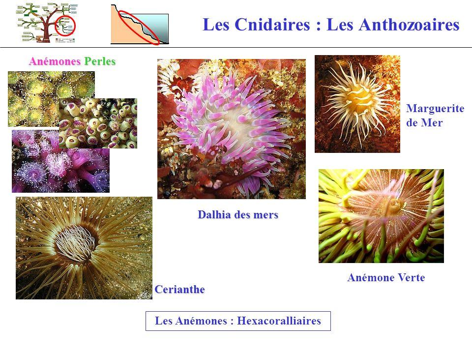 Les Cnidaires : Les Anthozoaires Les Anémones : Hexacoralliaires Anémones Perles Cerianthe Anémone Verte Marguerite de Mer Dalhia des mers