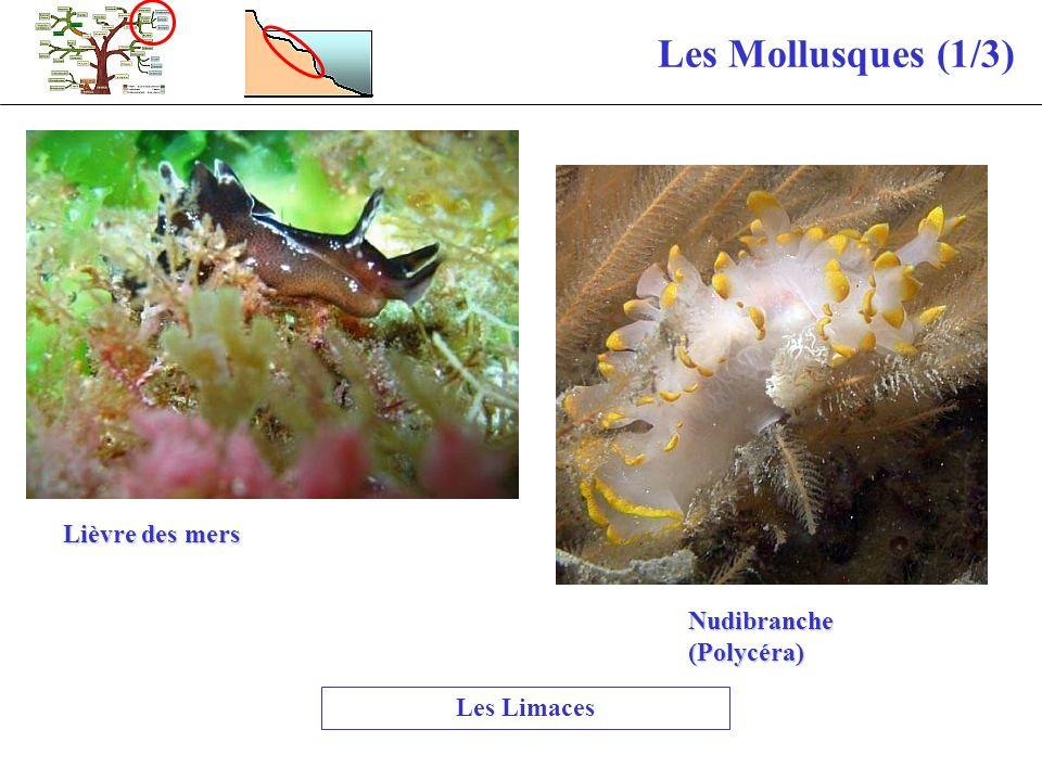 Les Mollusques (1/3) Les Limaces Lièvre des mers Nudibranche (Polycéra)