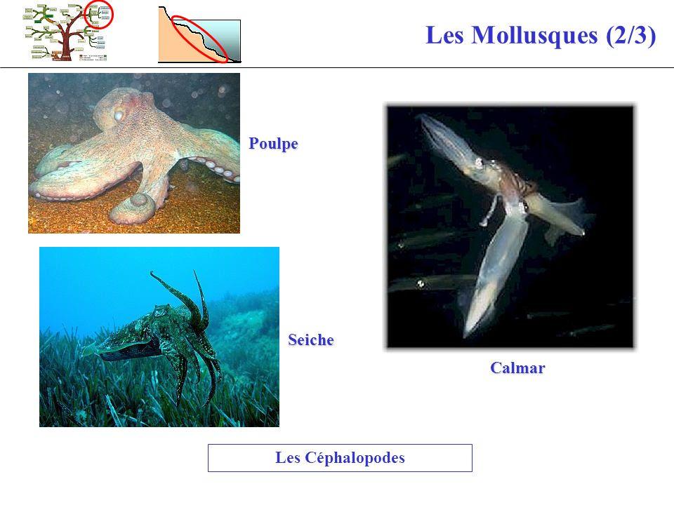 Les Mollusques (2/3) Les Céphalopodes Poulpe Seiche Calmar