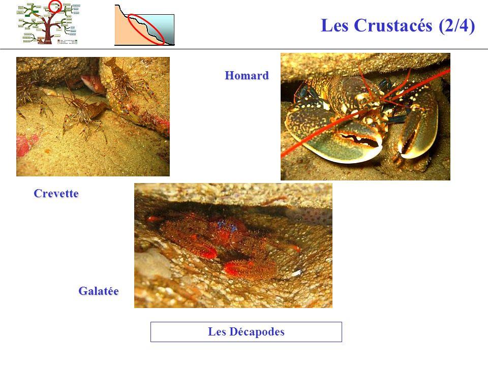 Les Crustacés (2/4) Les Décapodes Crevette Homard Galatée