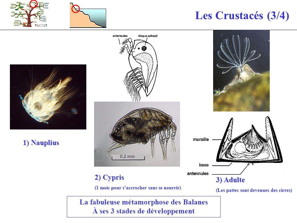 Les Crustacés (3/4) La fabuleuse métamorphose des Balanes À ses 3 stades de développement 1) Nauplius 2) Cypris (1 mois pour saccrocher sans se nourri