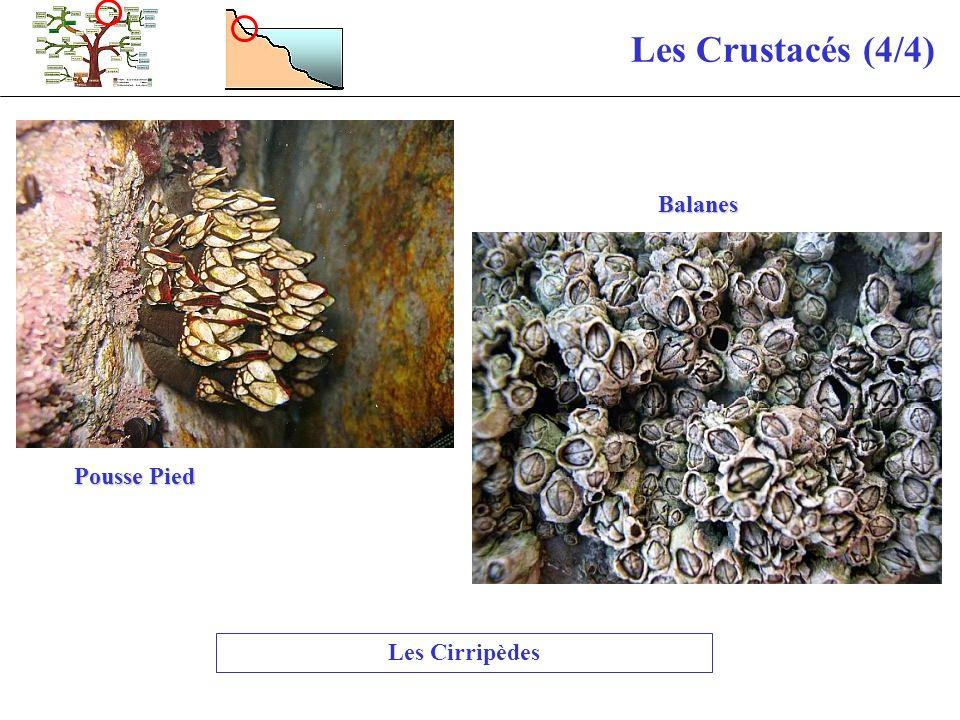 Les Crustacés (4/4) Les Cirripèdes Pousse Pied Balanes
