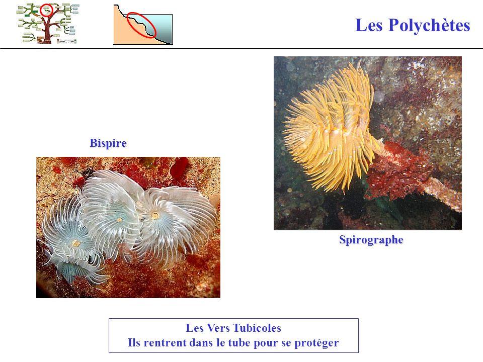 Les Polychètes Les Vers Tubicoles Ils rentrent dans le tube pour se protéger Bispire Spirographe