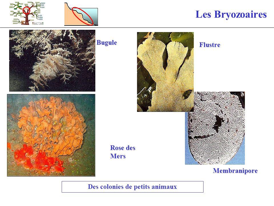 Les Bryozoaires Des colonies de petits animaux Rose des Mers Bugule Flustre Membranipore