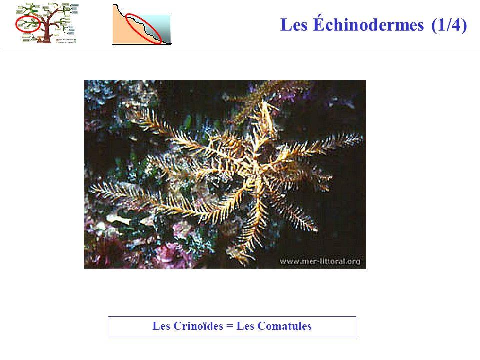 Les Échinodermes (1/4) Les Crinoïdes = Les Comatules
