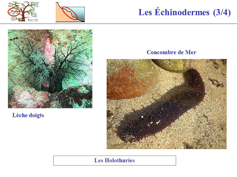 Les Échinodermes (3/4) Les Holothuries Lèche doigts Concombre de Mer