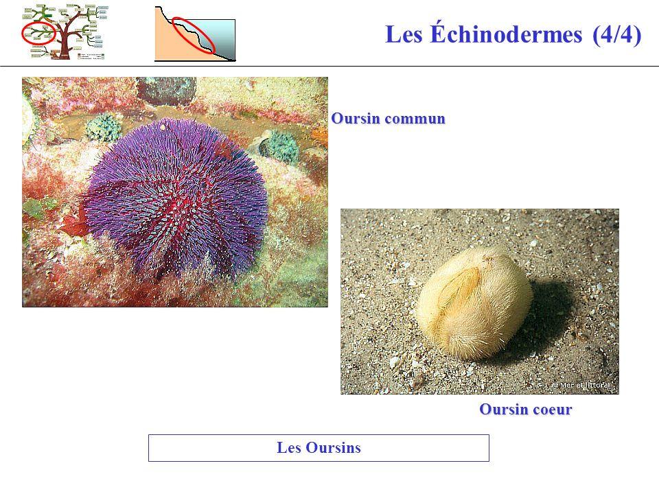 Les Échinodermes (4/4) Les Oursins Oursin commun Oursin coeur