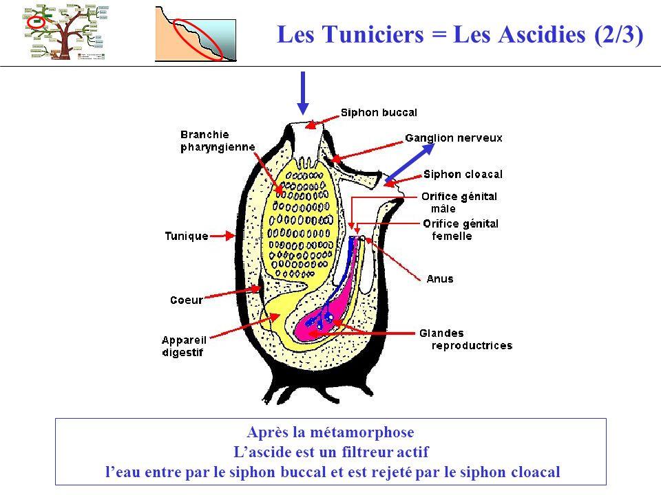 Les Tuniciers = Les Ascidies (2/3) Après la métamorphose Lascide est un filtreur actif leau entre par le siphon buccal et est rejeté par le siphon clo