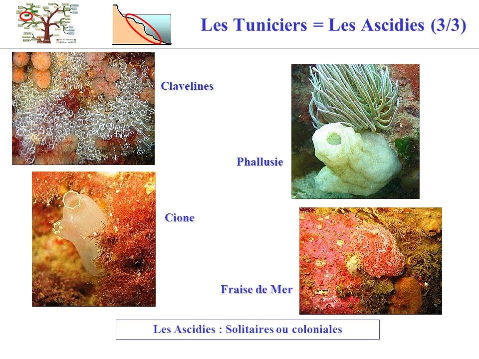 Les Tuniciers = Les Ascidies (3/3) Les Ascidies : Solitaires ou coloniales Clavelines Fraise de Mer Phallusie Cione
