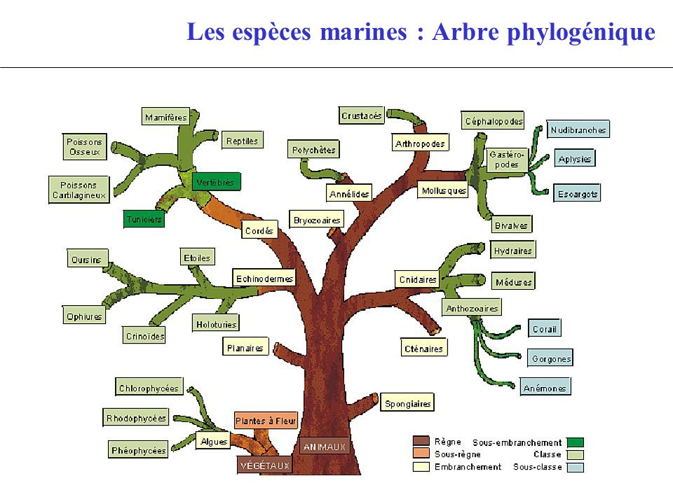 Les espèces marines : Arbre phylogénique