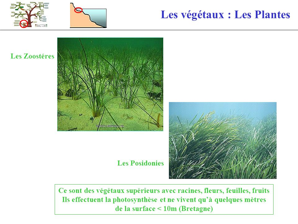Les végétaux : Les Plantes Les Zoostéres Les Posidonies Ce sont des végétaux supérieurs avec racines, fleurs, feuilles, fruits Ils effectuent la photo