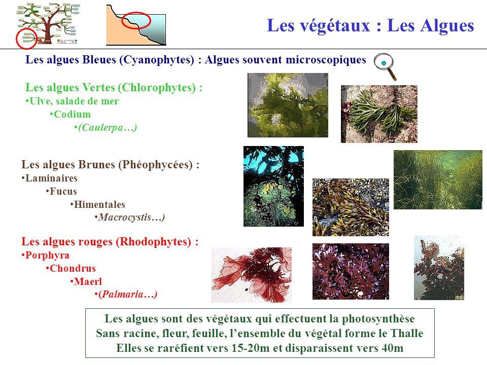 Les végétaux : Les Lichens Ce sont des associations symbiotique Algues + champignons Forme de vie extrêmement résistante, vivent sur le supralittoral Lichen gris arborescent Lichen encroûtant Jaune (Xanthoria parietina) 7% Algale + 93 % filaments champignon