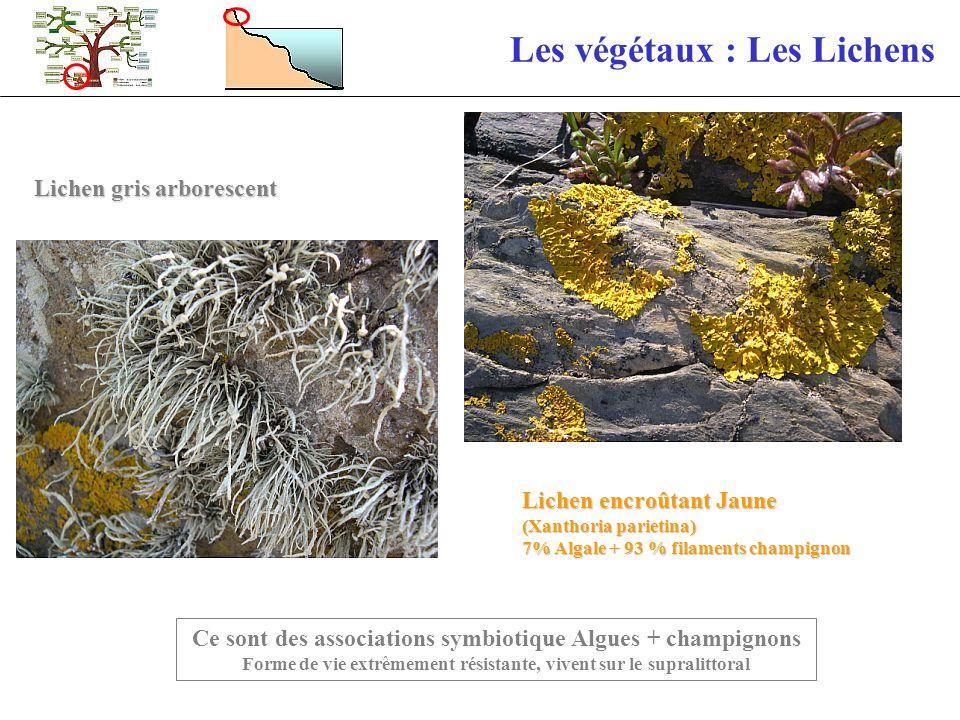 Les végétaux : Les Lichens Ce sont des associations symbiotique Algues + champignons Forme de vie extrêmement résistante, vivent sur le supralittoral
